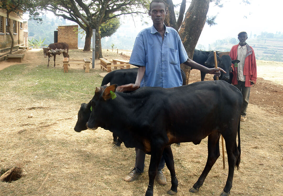 Rwandan man with his cow